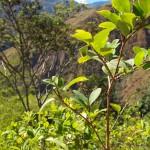 The famous coca plant