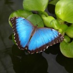 A female owl eye butterfly with its wings spread -- such a gorgeous bright blue!