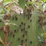Owl eye butterflies... everywhere!