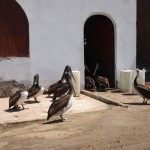 Apparently Huanacho isn't the only place with gigantic, begging Pelicans!